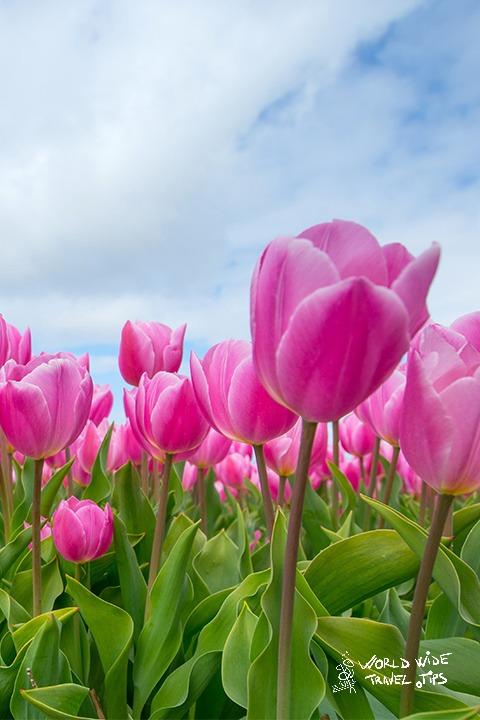 Pink tulips Amsterdam Netherlands