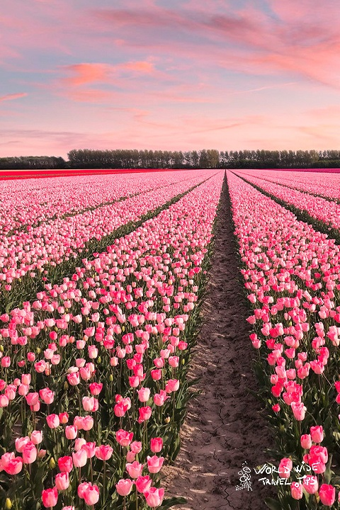 Tulips fileds in Amsterdam visit Holland tulip fields