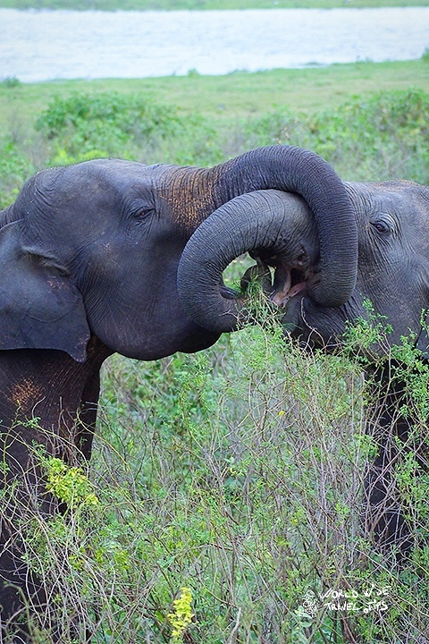 Ultimate guide to Minneriya National Park Sri Lanka