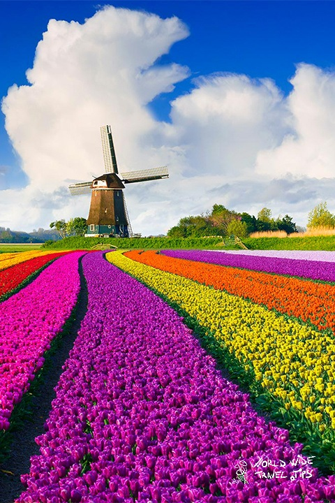 visit Netherlands for tulips windmill