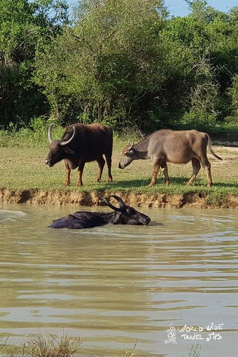 Buffalo Sri Lanka National Park