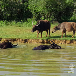 Buffalo in water in Yala National Park
