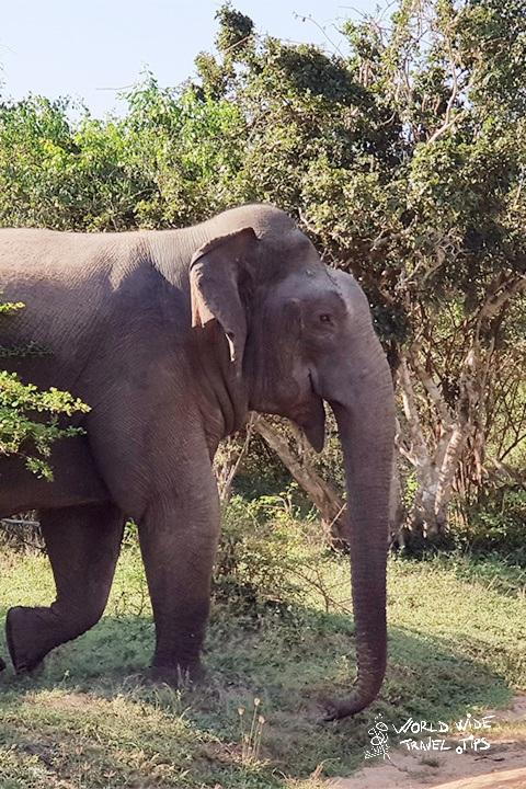 Elephant crossing Yala National Park