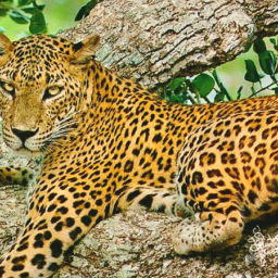 Leopard in Sri Lanka National Park