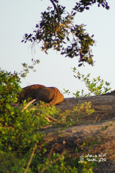 Leopard in Sri Lanka