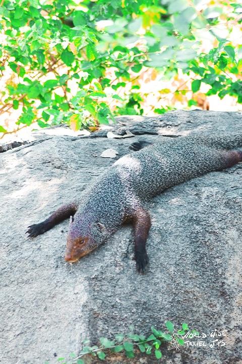 Mongoose in Yala National Park Sri Lanka