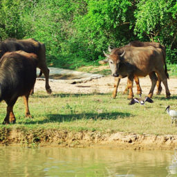 Buffalo animals in Sri Lanka