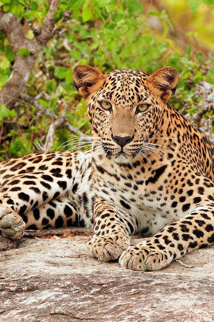 Leopard animals in Sri Lanka