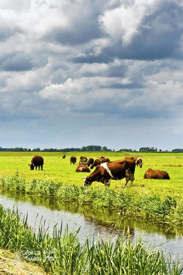 Netherlands in Summer cows