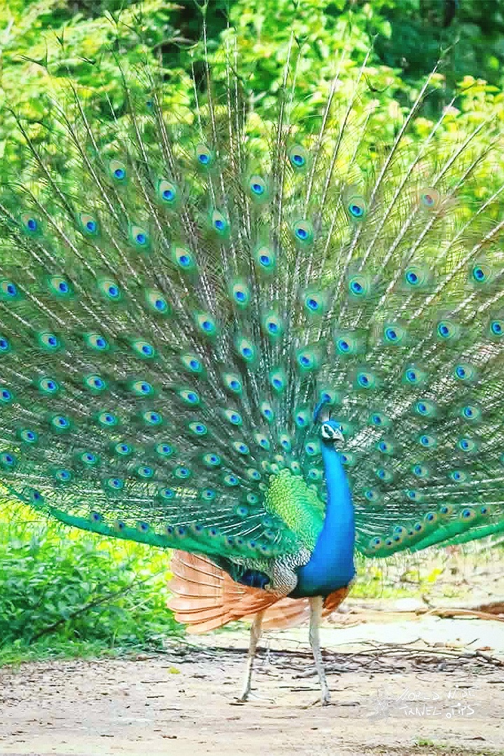 Peacock Sri Lanka Open