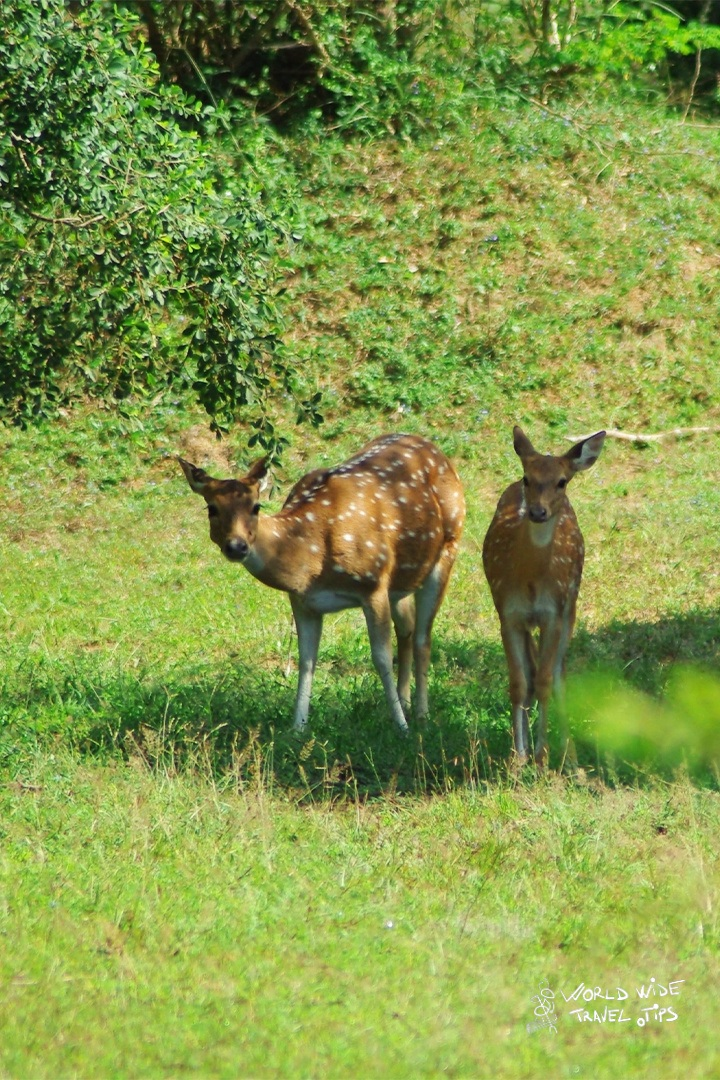 Spotted deer sri lanka