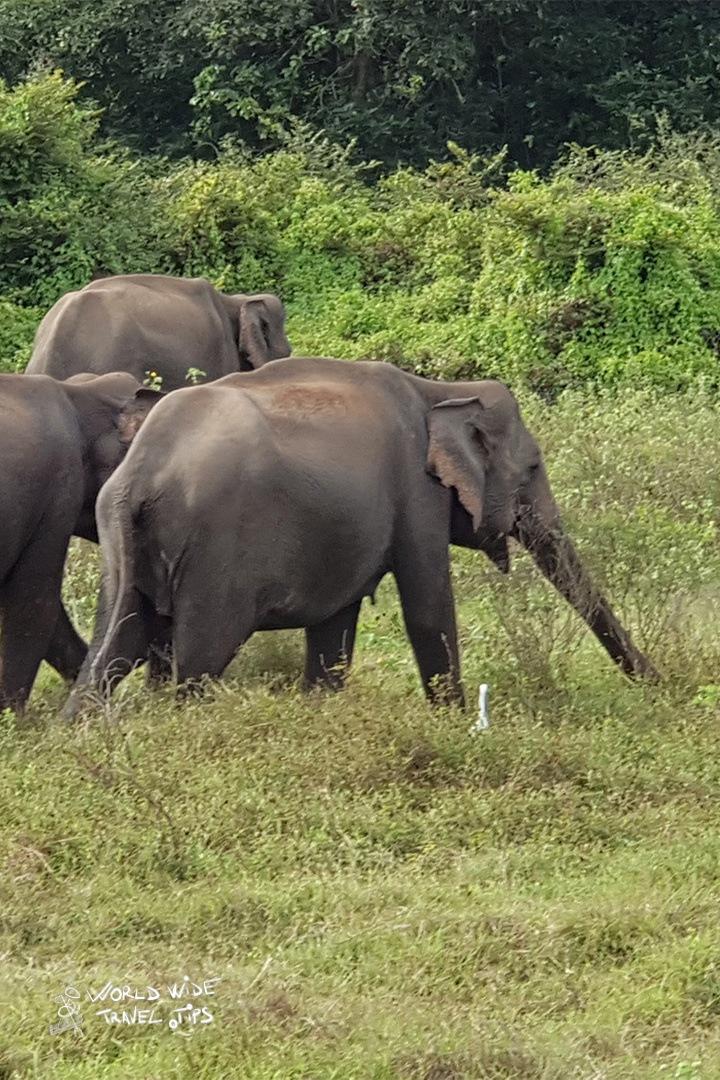 Udawalawe Elephants in the park