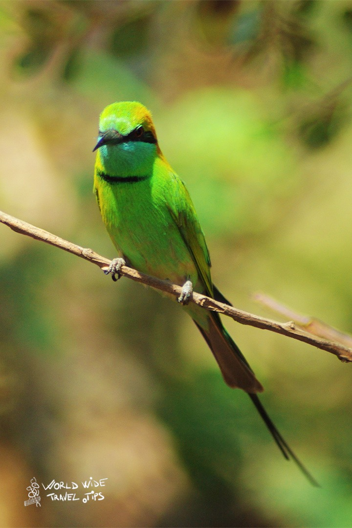 Yala National Park bird bee eater
