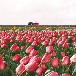 Tulips Fields Netherlands Holland