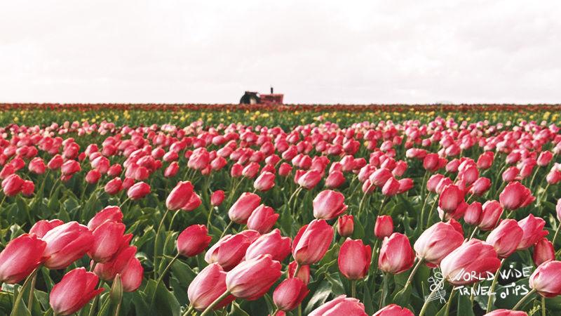 Tulips Fields Netherlands Holland