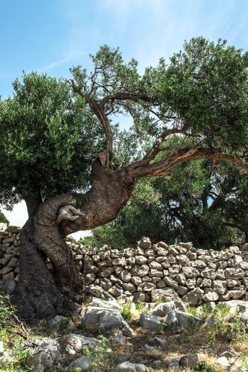 Mt of olives Jerusalem olive tree