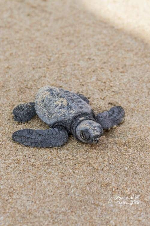 Freshly hatched turtle baby at Beach in Sri Lanka