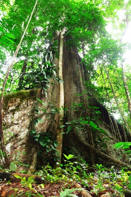 Piedras Blancas National Park Costa Rica Kapok tree