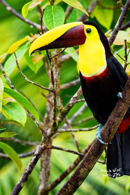 Yellow-throated (Black-mandibled) Toucan - Ramphastos ambiguus Costa Rica Animals