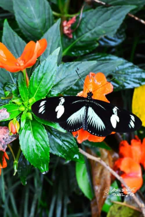 Arenal Volcano Butterfly Costa Rica Animals