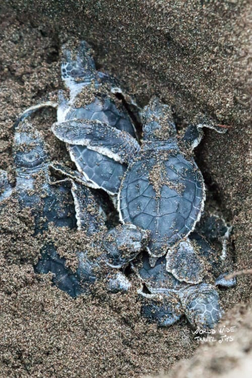 Baby Green turtles hatching from nest Costa Rica