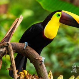 Black mandibled toucans in Costa Rica Toucan