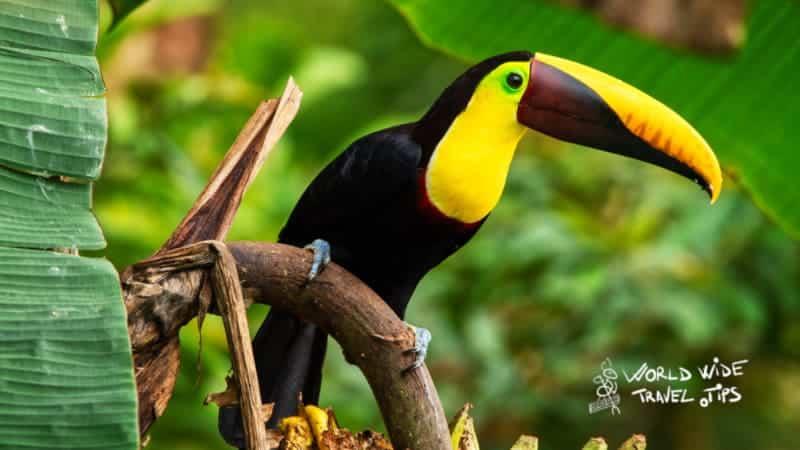 Black mandibled toucan Toucans in Costa Rica