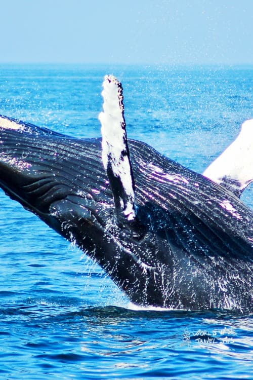 Blue Whales Animals in Costa Rica