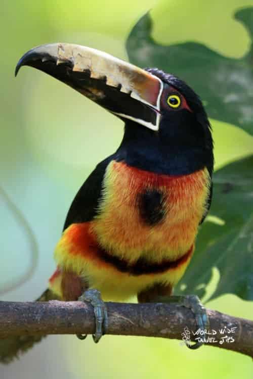 Collared Aracari Toucan Costa Rica