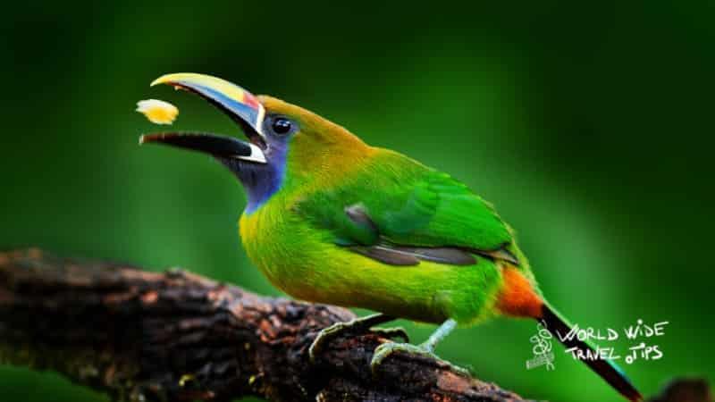 Emerald Toucanet Blue-throated Costa Rica Toucan