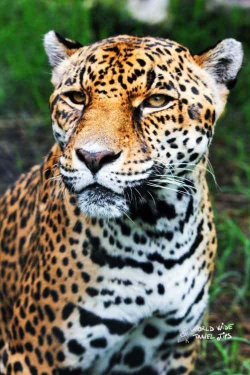 Female Jaguar Costa Rica Wildcats Animals
