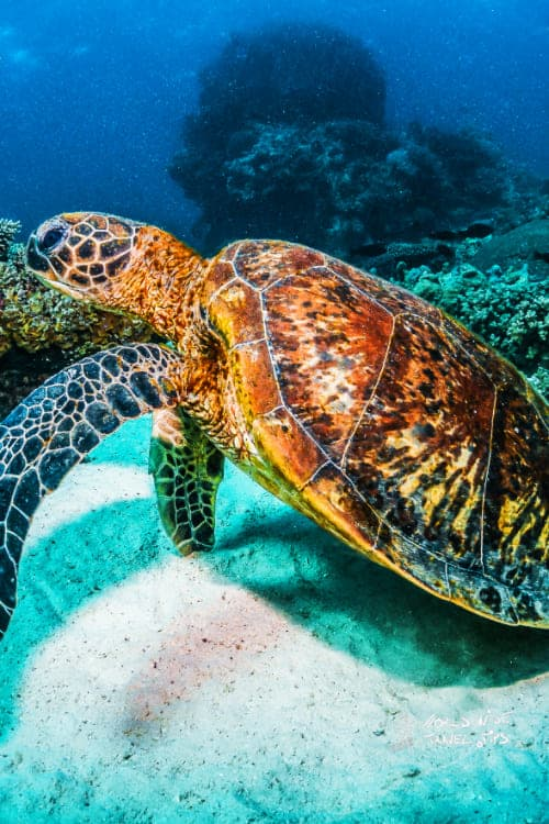 Green Sea turtles Costa Rica