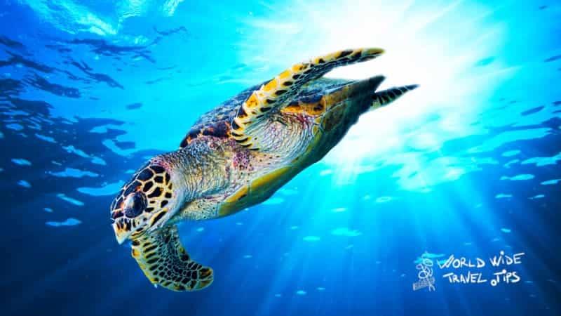 Hawksbill turtles Costa Rica Turtle