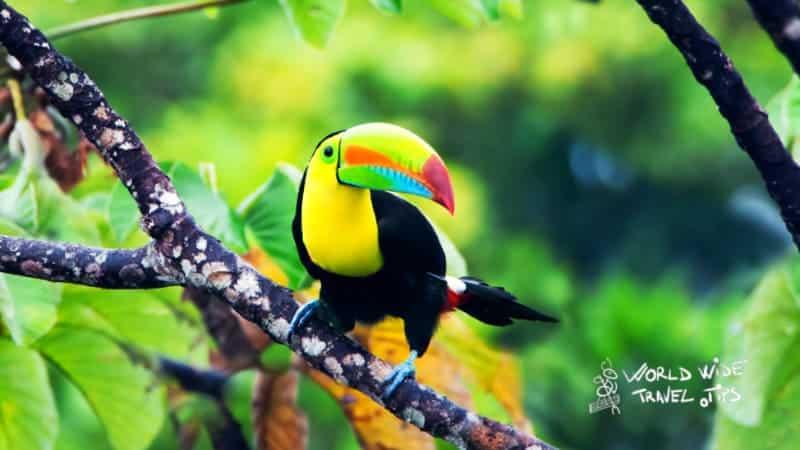 Keel billed toucan Costa Rica Toucan