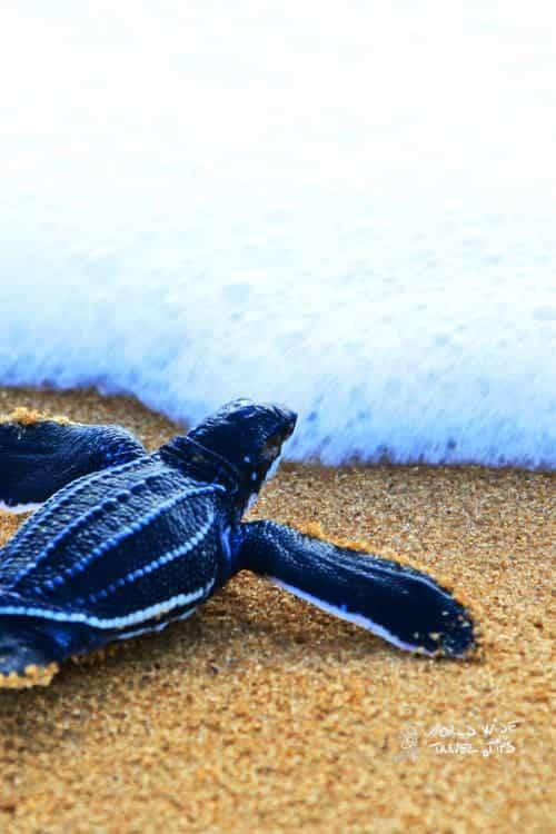 Leatherback sea turtles Costa Rica