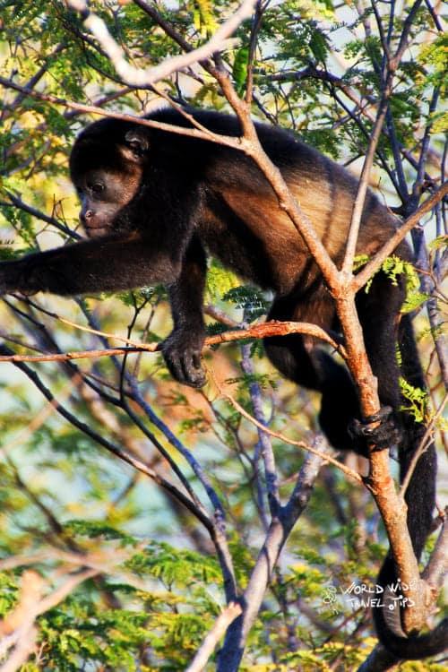 Mantled howler monkey Costa Rica