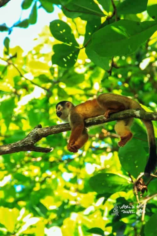 Monkeys Animal in Costa Rica