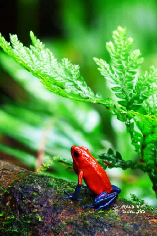 Red Poisonous Frog Costa Rica Animals