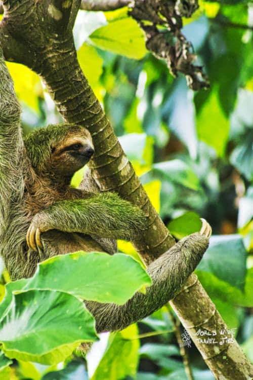 Sloth Sloths in Costa Rica