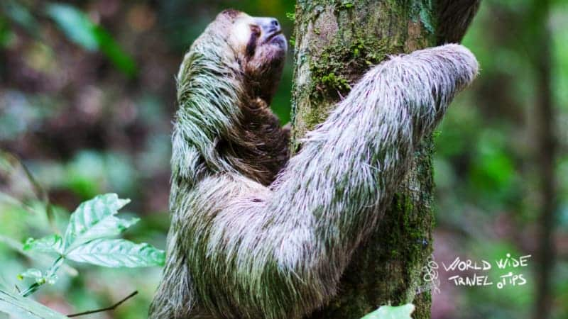 Sloths in Costa Rica Animals