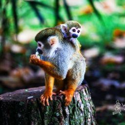 Spider Monkeys from Costa Rica