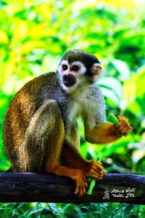 Squirrel Monkey Animal in Costa Rica