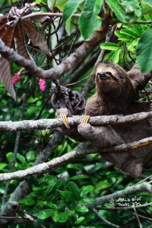 Three Toed Sloth Costa Rica Animals