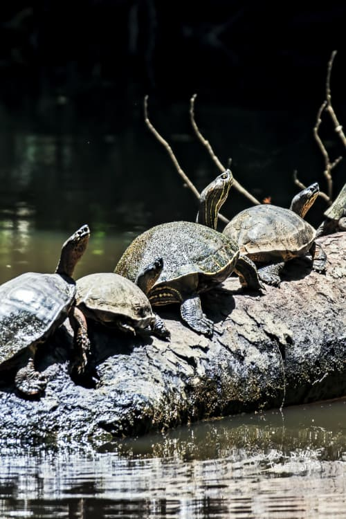 Turtles in line on tree trunk at Tortuguero National Park Costa Rica