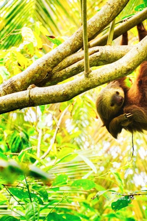 Wild Animals in Costa Rica Sloth