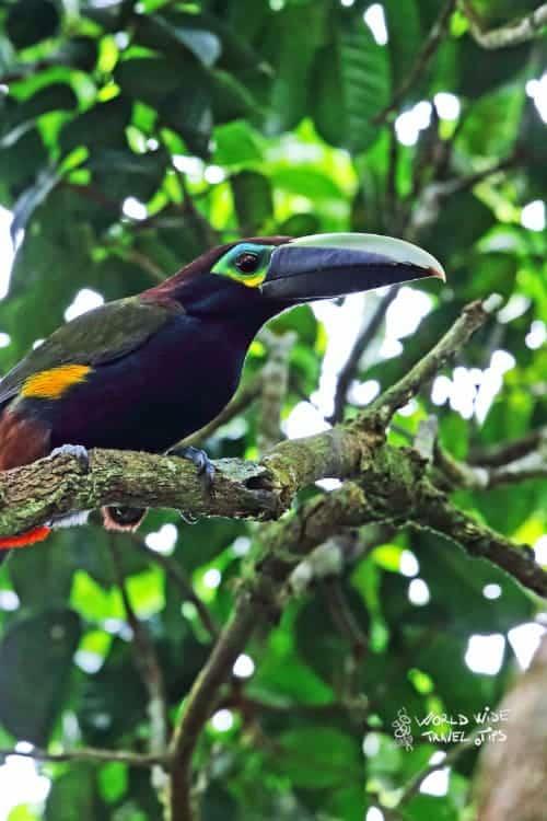 Yellow eared toucanet Costa Rica Toucan